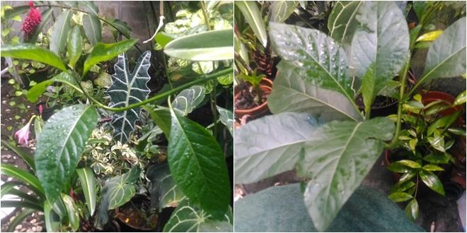Daun Afrika Vernonia Amygdalina