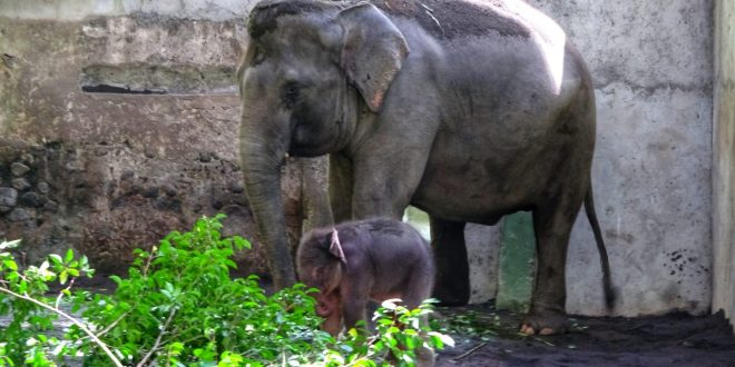 Gembira Loka Zoo Tambah Koleksi Gajah